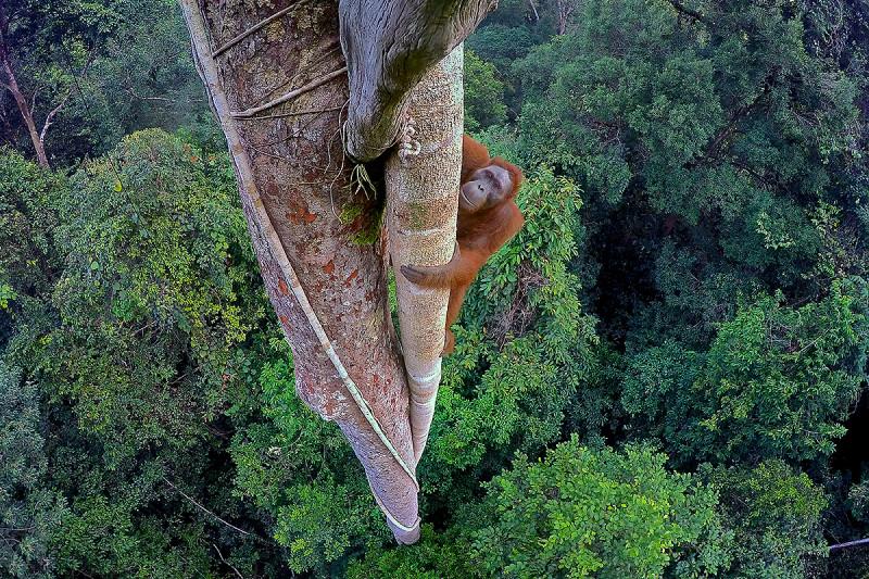 Orang Utan klettert in einen Baumwipfel