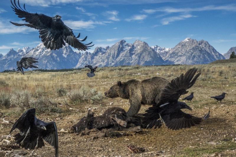 Ein Grizzly und Raben streiten vor derKulisse der Teton-Bergkette um die Überreste eines Bisons.