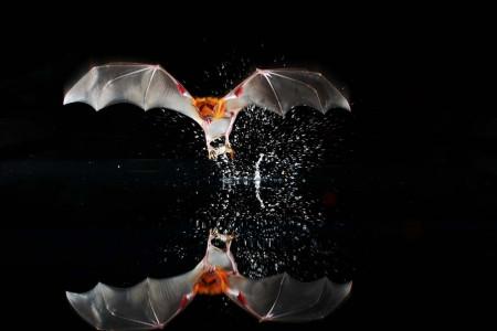 Eine Fledermaus fischt ihr Futter aus dem Wasser.