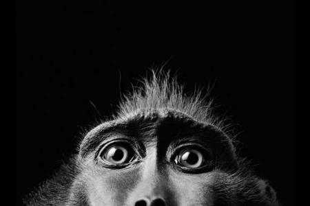 Blitzlicht-Porträt eines Affen.
