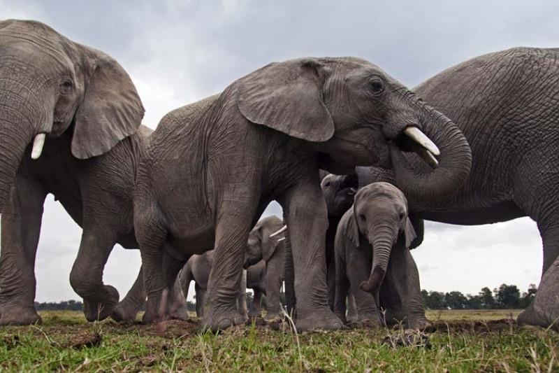 Eine Elefantenherde mit Jungtiere.