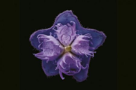 Eine Boraginaceae Blüte im leuchtenden Lila vor schwarzem Hintergrund.