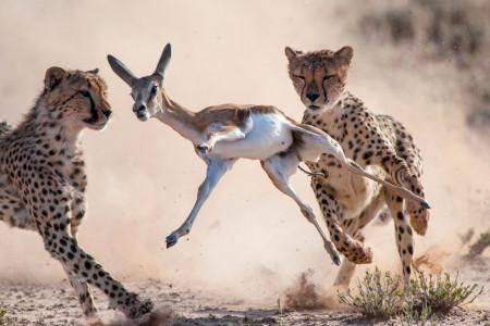 Geparden erlegen einen Springbock.